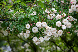 Rosa 'Félicité Perpétue'
