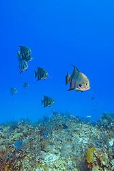 Atlantic Spadefish, Chaetodipterus faber, West End, Grand Bahama, Atlantic Ocean