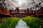 As one of the most famous cherry blossom festival in Korea, the Jinhae Gunhang Festival at the Gyeongsang province draws more than one million tourists from home and abroad to Jinhae every year during the festival period. Most visitors especially come here when the cherry blossoms burst into bloom. Jinhae, South Korea, 06.04.2010, Photography: Bjoern Steinz