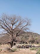A class of Nuba tribe school children taught under the shade of a Baobab tree in the village Nyaro, Kordofan region, Sudan