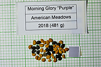Purple Morning Glory seeds from American Meadows. Image taken with a Fuji X-H1 camera and 80 mm f/2.8 macro lens + 1.4x teleconverter
