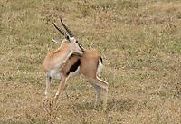 Thomson's Gazelle, Eudorcas thomsonii, in Ngorongoro Crater, Ngorongoro Conservation Area, Tanzania