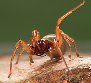 Woodlouse Spider, Dysdera crocata, Garden, Kent UK, showing large fangs in relation to body size, woodlouse hunter, sowbug hunter, sowbug killer, pillbug hunter and slater spider