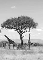 Masai Mara, Kenya, Svenska Hotel i världen, Giraff, Safari,
