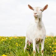 20120713 Sannen Goat