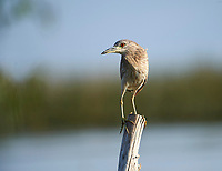 Immature Black-crowned night heron (Nycticorax nycticorax) perched on a post in Lake Chapala - Ajijic, Jalisco, Mexico
