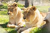 Lions, Tigers & Bears 03-04-2020