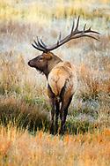 Bull Elk patiently waiting