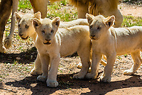 Three white lion cubs, Lion Park, Johannesburg, South Africa. The white lion is a rare color mutation of the Timbavati region of South Africa.