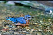 01377-18106 Eastern Bluebird (Sialia sialis) male bathing Marion Co. IL