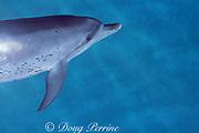 Atlantic spotted dolphin, Stenella frontalis, White Sand Ridge, Little Bahama Bank, Bahamas ( Western North Atlantic Ocean )