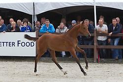 13 - Girisco<br /> KWPN Paardendagen 2011 - Ermelo 2011<br /> © Dirk Caremans