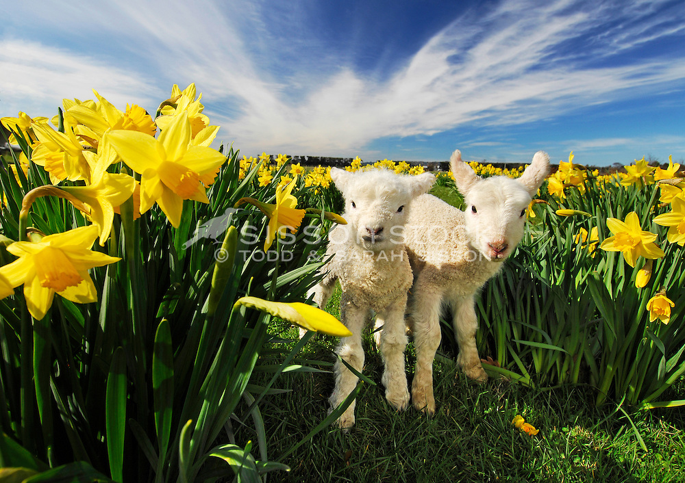 Two lambs graze among a field of daffodils in Spring, Otago