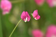 Grass Vetchling - Lathyrus nissolia