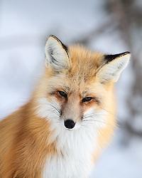 Red Fox, Grand Teton National Park