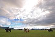 Sheep grazing in the mongolian grasslands