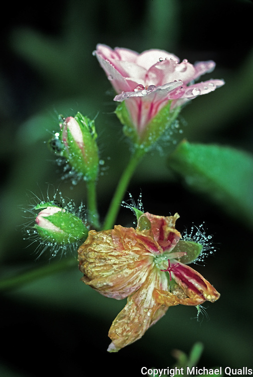 Geranium blooms - one old, one new