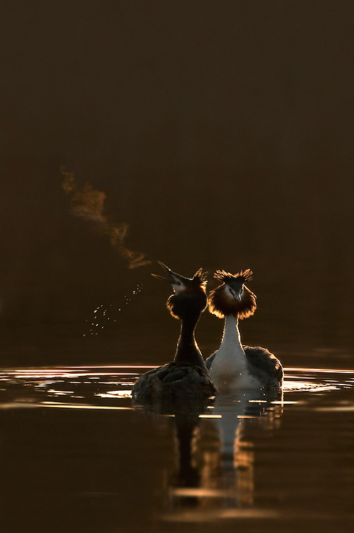 Great crested grebe, Podiceps cristatus, pair performing courtship ritual at dawn