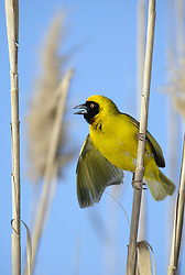 July 6, 2015 - African Masked Weaver, male, courtship display, South Africa (Credit Image: © Tuns/DPA/ZUMA Wire)