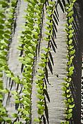 Spiny Forest Tree, Didierea trollii, Berenty National Park, Madagascar