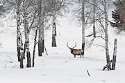 Bull elk in winter snow