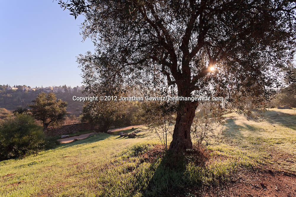 An olive tree in the Valley of the Cross in Jerusalem. WATERMARKS WILL NOT APPEAR ON PRINTS OR LICENSED IMAGES.