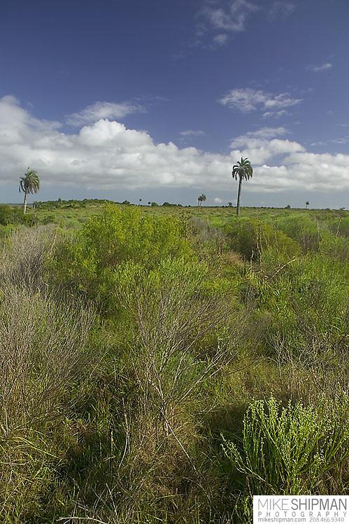 South America, Uruguay, Rocha, Parque Nacional Santa Teresa, Estacion Biologica Potrerillo de Santa Teresa, palms, landscape, native grassland
