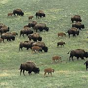Bison (Bison bison) herd on plains during the spring in Montana.