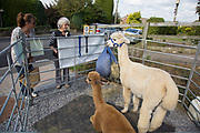 Alpacas in a small pen to promote the Alpaca wool products of a local producer. Local community Sunday market in the village of Husthwaite, North Yorkshire, England, UK. Over 20 stalls with a mixture of old favourites and new stalls lelling locally made products.