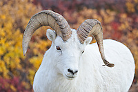Dall Ram on the road to Denali. Image taken with a Nikon D3 and 70-300 mm VR lens (ISO 900, 150 mm, f/5, 1/1000 sec)