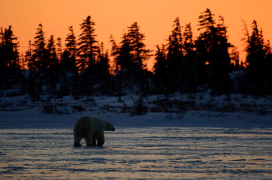 Polar Bear (Ursus maritimus) A large male pauses on a frozen lake at sunset near the edge of a spruce forest. Near Churchill, Manitoba, Canada. Winter.