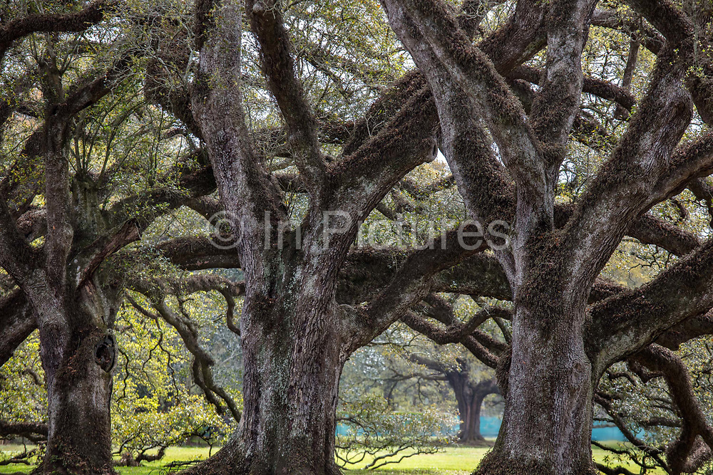200 year old oaks in the Oak Alley Plantation, located on the west bank of the Mississippi River on 10th April 2020 in Vacherie, Louisiana, United States. The grand homes in this area were built by immensely wealthy sugar planters during the 30 years prior to the Civil War. They epitomize the conspicuous consumption lifestyle, based on slavery, characteristic of the so-called Gold Coast during that period and were the absolute apex of the Greek Revival style in Louisiana.