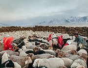 In this high, barren plateau, survival depends on livestock. Red-robed Kyrgyz girls corral sheep for milking, while dung dries atop the walls for use as fuel. The sheep, along with goats, yak and camels provide milk, meat and wool. At the Andemin camp.<br /> <br /> Trekking through the high altitude plateau of the Little Pamir mountains, where the Afghan Kyrgyz community live all year, on the borders of China, Tajikistan and Pakistan.
