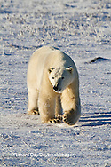 01874-12415 Polar bear (Ursus maritimus) walking in winter, Churchill Wildlife Management Area, Churchill, MB Canada