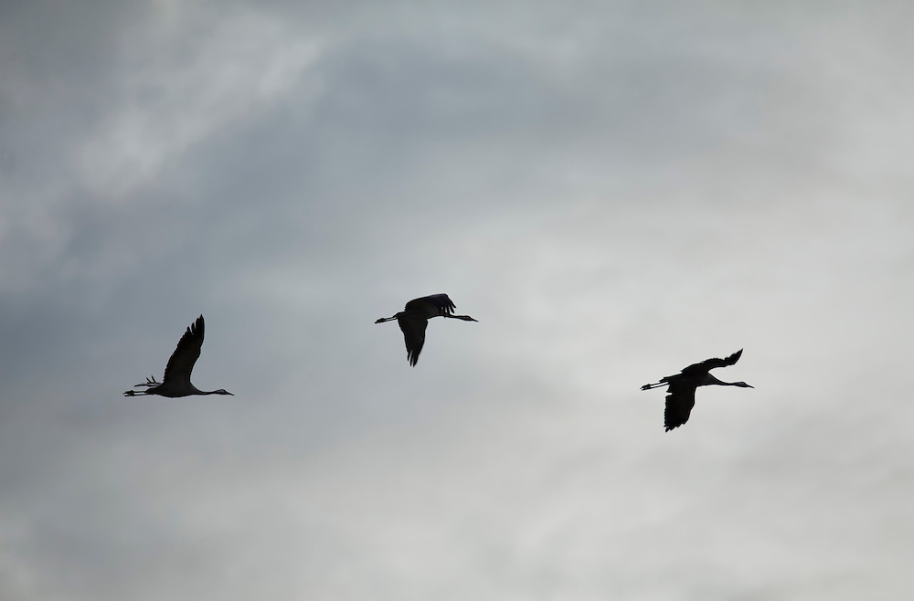 Cranes in silhouette, flying in line