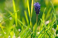 France, Languedoc Roussillon, Gard (30), Cevennes, fleur de Muscari en grappe, N.L.: Muscari neglectum, (Liliacées)