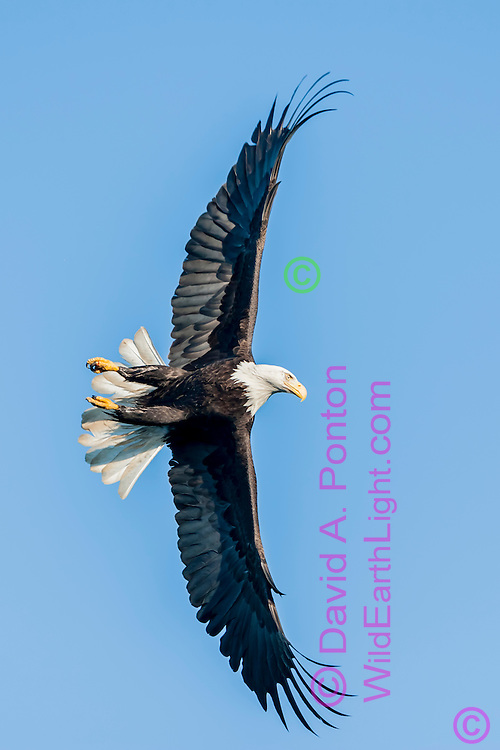 Bald eagle in flight against clear sky, banking sharply, making primary wing feathers bend, ©  David A. Ponton
