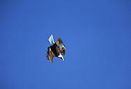 Bald eagle, wing-over diving flight, blue sky background, Alaska
