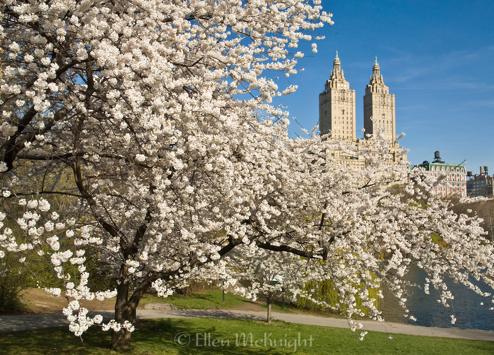 Crabapple trees blossom during spring on The Lake in Central Park, New York City. The San Remo apartment building in the background