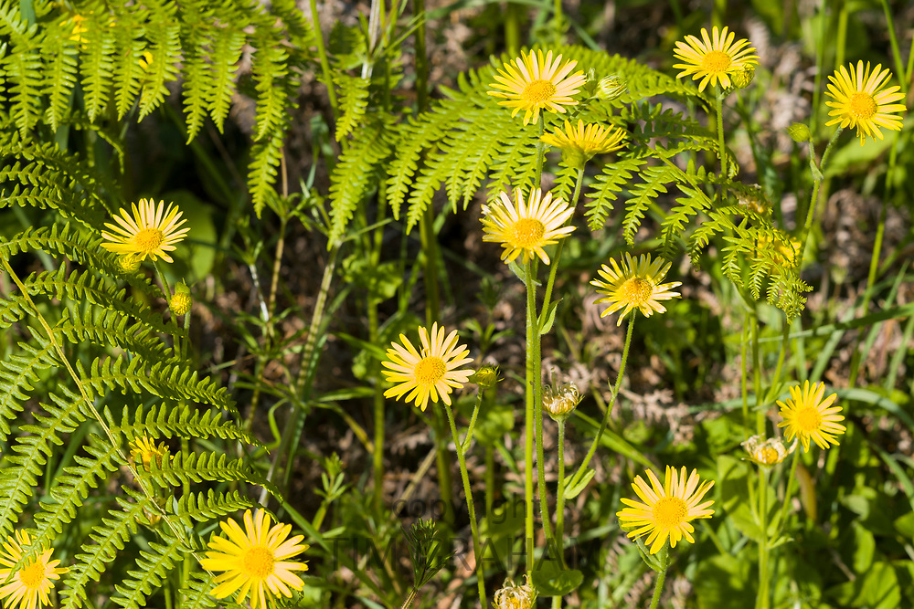 Wildflowers - yellow daisy style - and ferns in English countryside