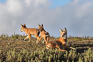 Äthiopischer Wolf (Canis simensis) im Bale Mountains Nationalpark im Web Valley in der Region Sodota. Welpen und Adulte am Bau des Megitti Rudels