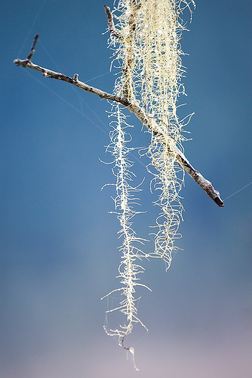 A small twig hangs suspended in the air, caught in a strand of lichen in Olympic National Park, Washington.