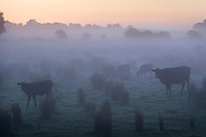 Cattle at Dawn, Norfolk, UK