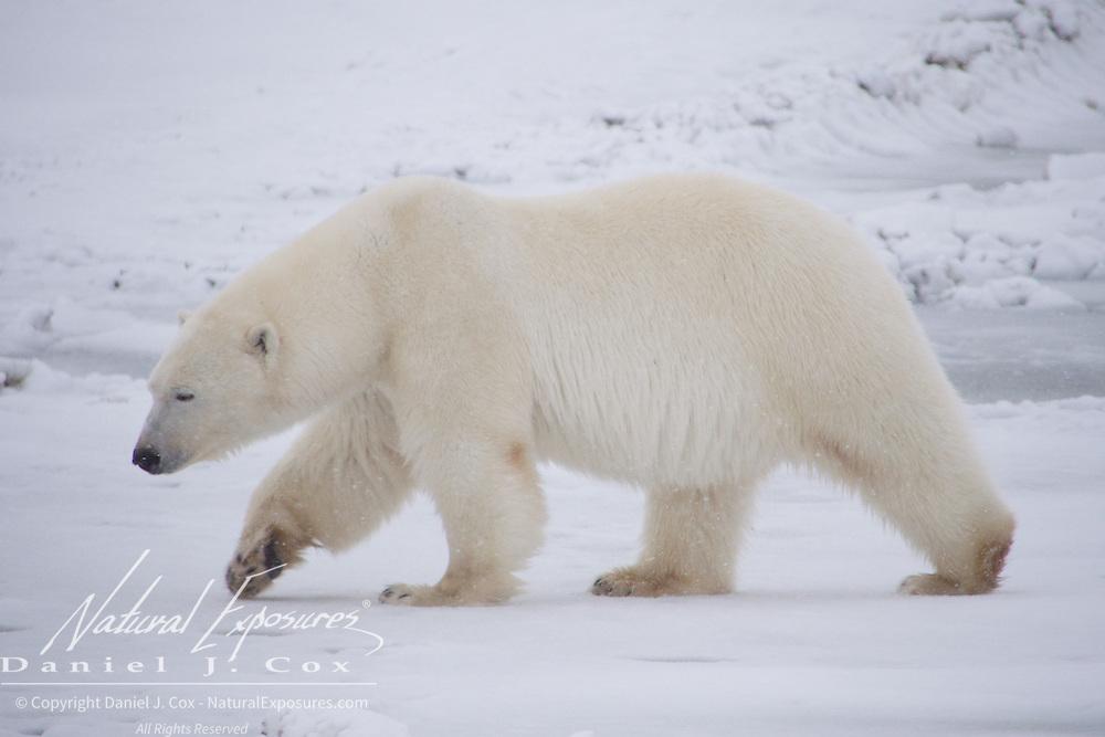 Polar bear, Gordon Point, Hudson Bay, Manitoba.