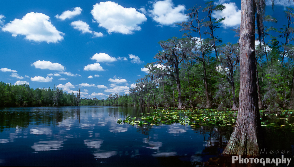 Panoramic of cyprus trees and blue sky reflected in the dark waters of the Okefenokee swamp