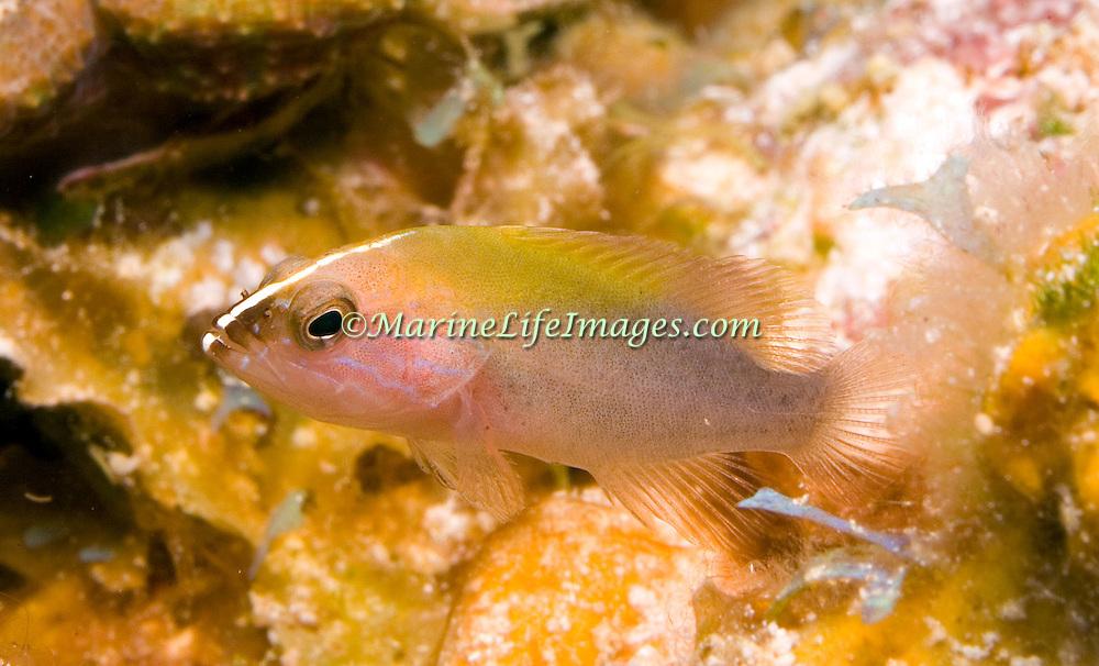 Grasby, juvenile, inhabit reefs in Tropical West Atlantic; picture taken Little Cayman.