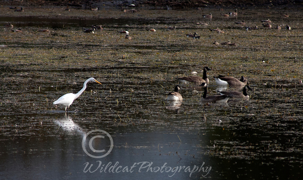 Egret and Geese