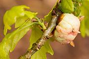 Oak apple gall (Biorhiza pallida).