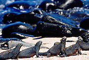 Marine iguanas on the beach, Galapagos Islands, Ecuador