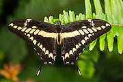 King swallowtail or Thoas swallowtail (Papilio thoas)<br /> Mindo<br /> Cloud Forest<br /> West slope of Andes<br /> ECUADOR.  South America<br /> HABITAT & RANGE: USA, Central & South America